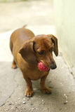 Dachshund with red ball. Closeup of a playful Dachshund dog with a red ball toy in its mouth Stock Photo