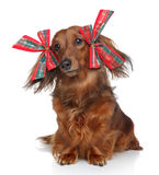 Dachshund with red bows on a white background Stock Photos