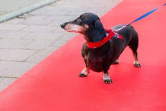 Dachshund at red carpet. Dachshund outdoor at red carpet Stock Photography