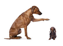 Dachshund and  rhodesian ridgeback, Stock Photography