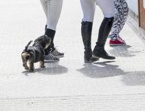 Dachshund and riders legs at the food stall during a horse competition event. Royalty Free Stock Photo