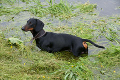 Dachshund in the river Stock Photo