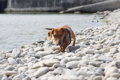 Dachshund on the rocks Stock Image