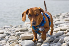 Dachshund on the rocks Stock Photography