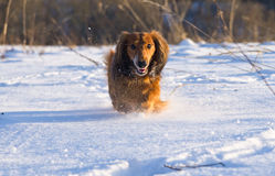 Dachshund running Royalty Free Stock Photography