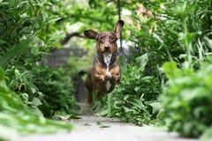Dachshund Running foto de stock