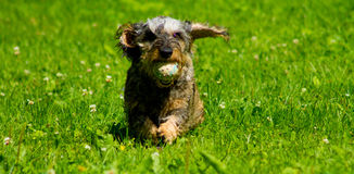 Dachshund running with a ball Royalty Free Stock Photos