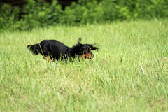 Dachshund running in the field. Dachshund running in a field Catskills NY Royalty Free Stock Images