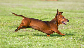 Dachshund running on green grass Royalty Free Stock Photography