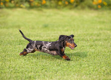 Dachshund running Royalty Free Stock Image