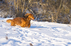 Dachshund running on meadow Royalty Free Stock Image