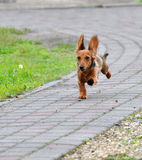 Dachshund runs Stock Image