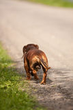 Dachshund runs. Stock Photography