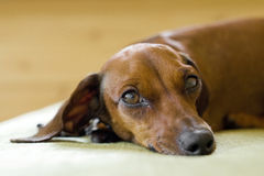 Dachshund's look. Miniature dachshund looking at the camera Stock Photos