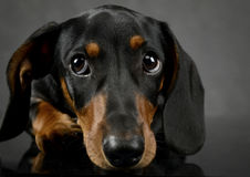 Dachshund`s portait on a dark gray studio Royalty Free Stock Photo