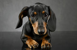 Dachshund`s portait on the dark gray studio Stock Photography