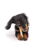 Dachshund's puppy Stock Photos