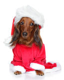 Dachshund in Santa furry cap Stock Photo