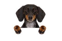 Dachshund sausage dog banner Stock Photos