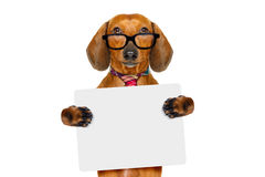 Dachshund sausage dog on business trip. Office worker businessman dachshund sausage  dog  as  boss and chef , with empty blanc banner placard or poster Stock Photos