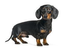 Dachshund, Sausage dog in front of white background. Isolated on white stock photography