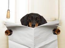 Dog sitting on toilet. Dachshund sausage dog reading a newspaper magazine , isolated on white background royalty free stock image