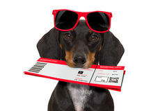 Dachshund sausage dog on vacation Stock Photos