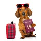 Dachshund sausage dog on vacation Royalty Free Stock Photos
