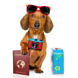 Dachshund sausage dog on vacation Stock Images