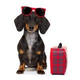 Dachshund sausage dog on vacation Stock Photography