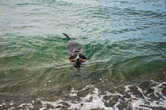 Dachshund schwimmt im Meer mit Stock Stockfotos