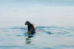 Dachshund in the sea Royalty Free Stock Image
