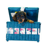 Dachshund in sewing box. Small dachshund puppy peeking out of a floral sewing box Royalty Free Stock Photography