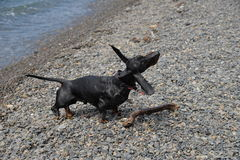 Dachshund shakes on  pebble beach after swimming in sea Stock Images