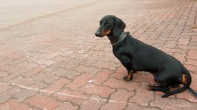 Dachshund sits on stone pavement Royalty Free Stock Photo