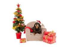 Dachshund sitting on chair with Christmas tree Royalty Free Stock Image