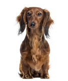 Dachshund sitting and facing, isolated Stock Photography