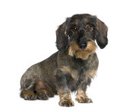 Dachshund sitting in front of white background Stock Photography