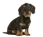 Dachshund sitting Stock Photos