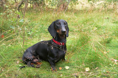 Dachshund sitting on grassy meadow Royalty Free Stock Photo