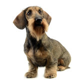 Dachshund sitting and look in up in a white studio. Dachshund sitting and look in up in  white studio Royalty Free Stock Images