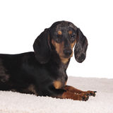 Dachshund sitting sideways isolated on white Royalty Free Stock Photography