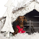 Dachshund sitting and wearing a red scarf Royalty Free Stock Images