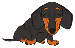 Dachshund sleeping and sit Stock Images