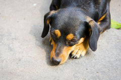Dachshund small dog resting. Royalty Free Stock Images