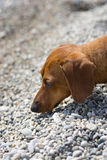Dachshund sniffing Stock Images
