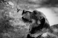 Dachshund sniffing investigating plant flower black and white close up stock image
