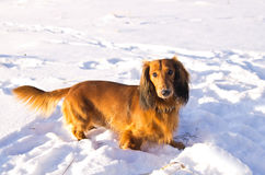 Dachshund on snowy meadow Stock Photo