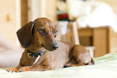 Dachshund on a sofa. Miniature dachshund lying on a sofa Royalty Free Stock Photo