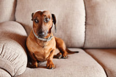 Dachshund on a sofa. Dachshund on sofa at home Stock Image